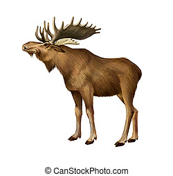 Adult Moose standing Side view Isolated realistic...