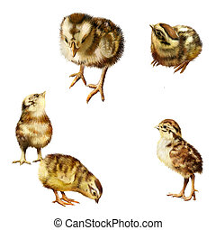 New born chicks in different poses Isolated realistic...