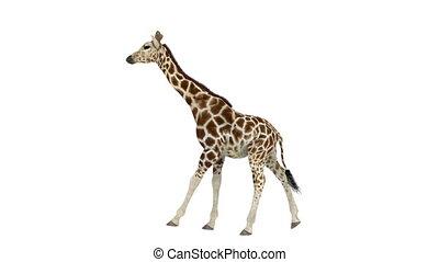 giraffe - walking giraffe