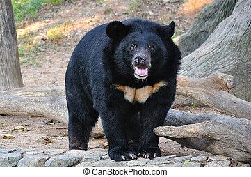 Azjata, czarnoskóry, Niedźwiedź