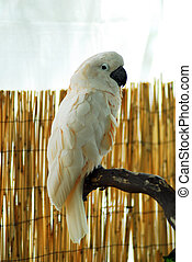 White macaw Parrot perched