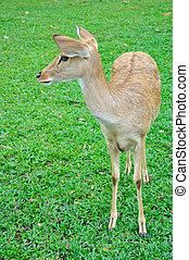 Deer brow-antlered
