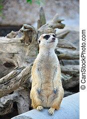 Suricate or meerkat standing in alert position