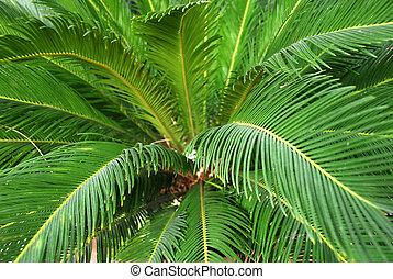 cycad, planta, Palma
