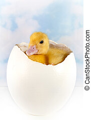 Ostrich egg with easter duckling