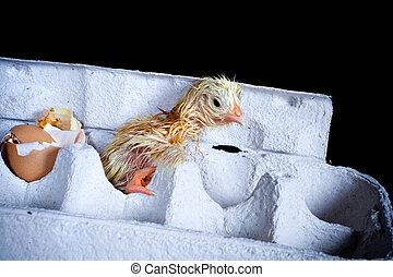 Chick in egg box