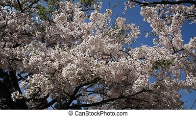 spring cherry blossom trees for adv or others purpose use