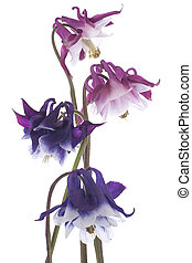 columbine - Studio Shot of Blue and Red Colored Columbine...