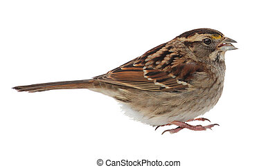 White-throated Sparrow Isolated - White-throated sparrow,...