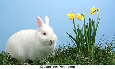 White bunny rabbit sniffing around the grass with yellow...