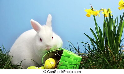 Bunny rabbit sniffing around the grass with daffodils and...