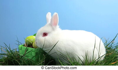 White bunny rabbit sniffing around the grass and basket of...