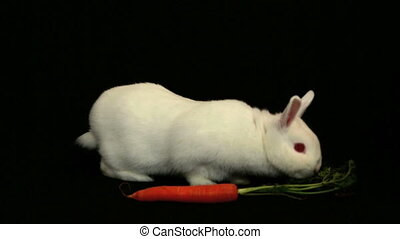 White bunny rabbit sniffing around a carrot on black...