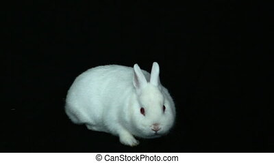 Fluffy white rabbit sniffing its nose on black background