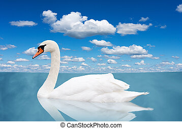 White swan floats in water bird in a pond under the blue sky...