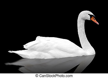 White swan floats in water bird isolated over black