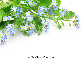 forget-me-not - I took a forget-me-not in a white background...