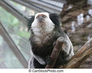 Marmoset - Photo of a Marmoset in a zoo