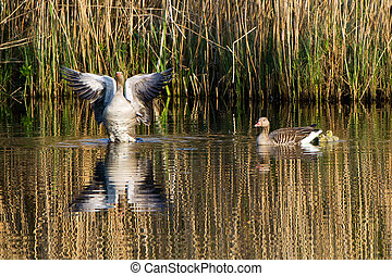 Greylag/graylag goose (Anser_anser) family - The proud male...