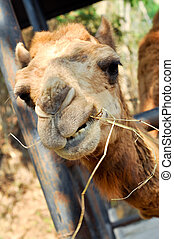 camel eating - The camel mainly eat straw/hay/roughage.
