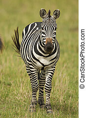 Zebra standing in the Savannah - zebra in Amboseli national...