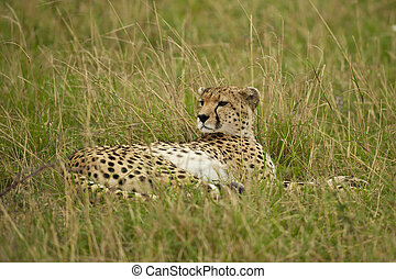 Cheetah in the Savannah - Cheetah lying down in the Masai...