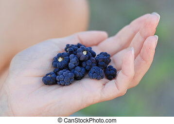 Handful of blackberry closeup