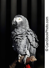 African Grey Parrot, Psittacus erithacus - Details of an...