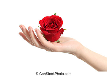 Beautiful woman hand holding a red rose on a white isolated...