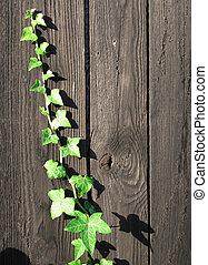 Grenn ivy climbing - English grenn ivy growing on a palisade