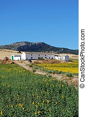 Farm with sunflowers, Andalusia - Cortijo with sunflowers in...