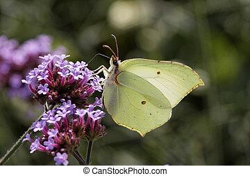 Common Brimstone bitterfly
