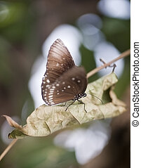 Common Crow butterfly Euploea Cora