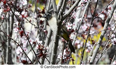 Bulbul hunts bees while sitting on