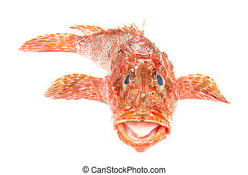 Red Scorpionfish prepared seafood front view Raw food...