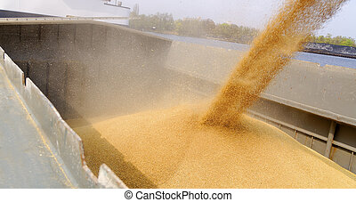 barge loading - loading barge with a crop of wheat grain