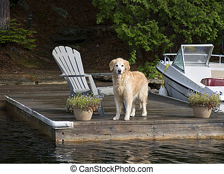 Retriever on the Dock - Golden Retriever on the Dock looking...