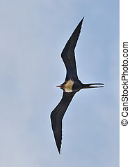 magnificent frigatebird - A male magnificent frigatebird...