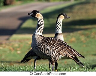 Pair of Endangered Hawaiian Geese - A pair of endangered...