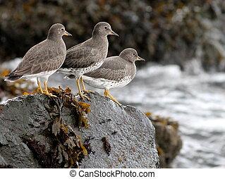Surfbirds on a Rock - Surfbirds on a rock in Western...