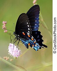 Pipevine Swallowtail in Mexico - Pipevine Swallowtail...