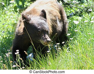 Black Bear in a Field - A juvenile Black Bear in a field on...