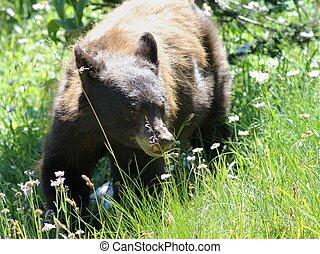 Black Bear in a Field - A juvenile Black Bear in a field on...