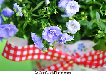 campanula flowers - blue campanula flowers in flower pot on...