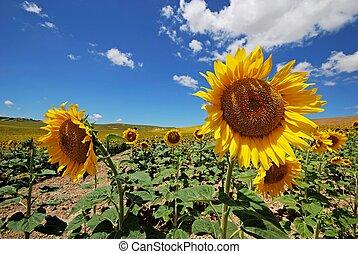 Sunflower field, Andalusia, Spain. - Sunflower field, Medina...