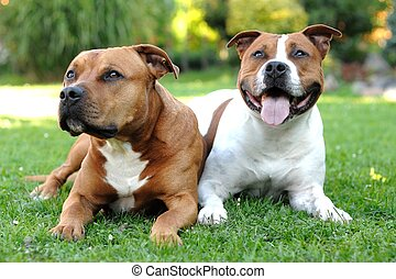 American Staffordshire terriers - Two American Staffordshire...
