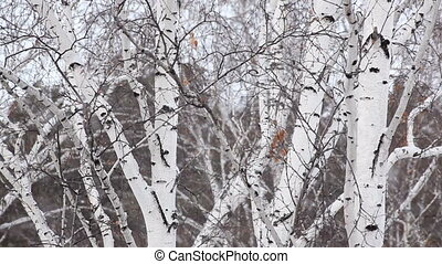 Snowfall amid trunks of birch trees.