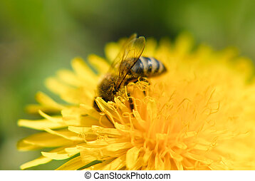 Bee on dandelion flower - Honey bee on dandelion flower...