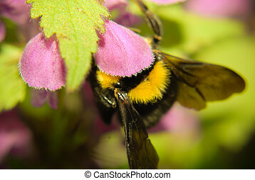 Bumble bee in flower closeup