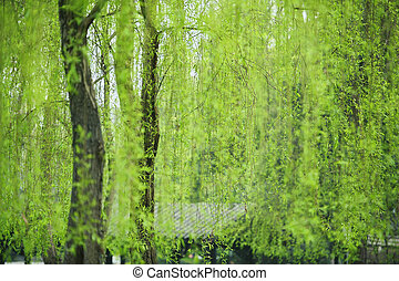 Weeping willow leaves of greenness in a garden at spring